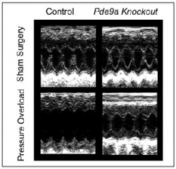 These are ultrasound images of mouse hearts. Absence of PDE-9 protects the...