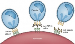 Malaria parasites depend on the interaction between basigin and PfRH5 to invade...