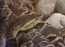 The Brazilian lancehead is one of several South American pit vipers that...