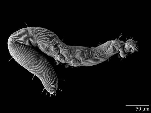 Note: This is Osperalycus tenerphagus and NOT an iron nanoworm. Still, it is...