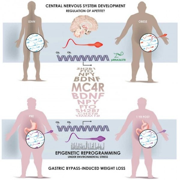 This visual abstract shows how spermatozoa from obese men carry a distinct...