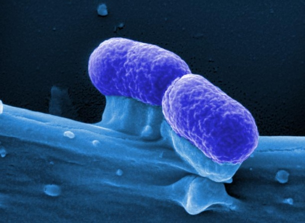 Probiotic E. coli could be used as a therapeutic agent against cancer.