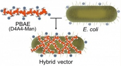 The core of the transport capsule is harmless E. coli. A synthetic polymer —...