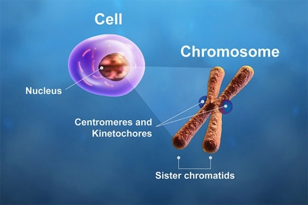 The centromeres and kinetochores of a chromosome play critical roles during...