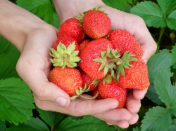 The natural compound in strawberries reduces cognitive deficits and...