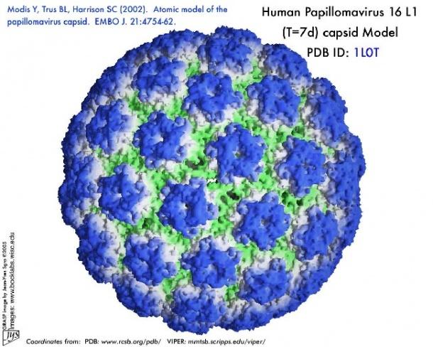human papilloma virus virus