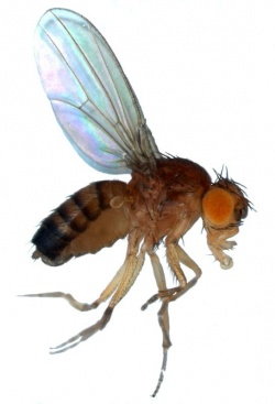 Photo: Using fruit flies to help understand cancer
