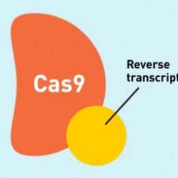 The prime editor complex includes a Cas9 enzyme, modified to only nick one...
