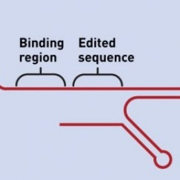 The pegRNA has two special components: a section that binds to the nicked DNA,...