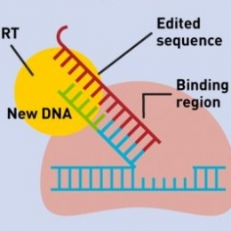 To transfer the edited sequence from the pegRNA to the target DNA, the reverse...