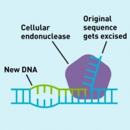 An endonuclease in the cell naturally excises the old segment of DNA and seals...