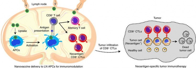Small green nanovaccine particles deliver the tumor neoantigen to the lymph...