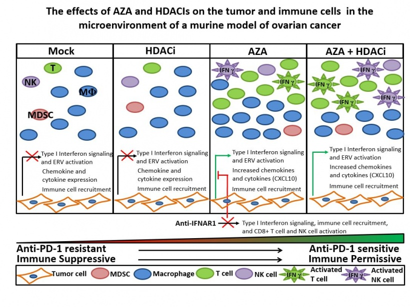 The effects of AZA and HDACIs on the tumor and immune cells in the...