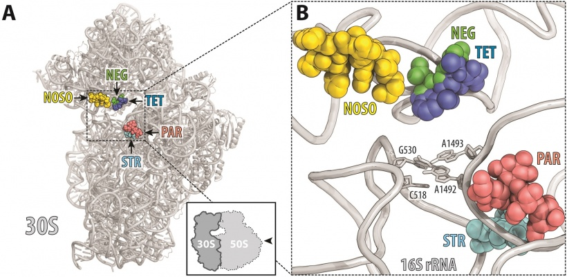 ODLs (yellow) bind to a site on the ribosome not used by other antibiotics....