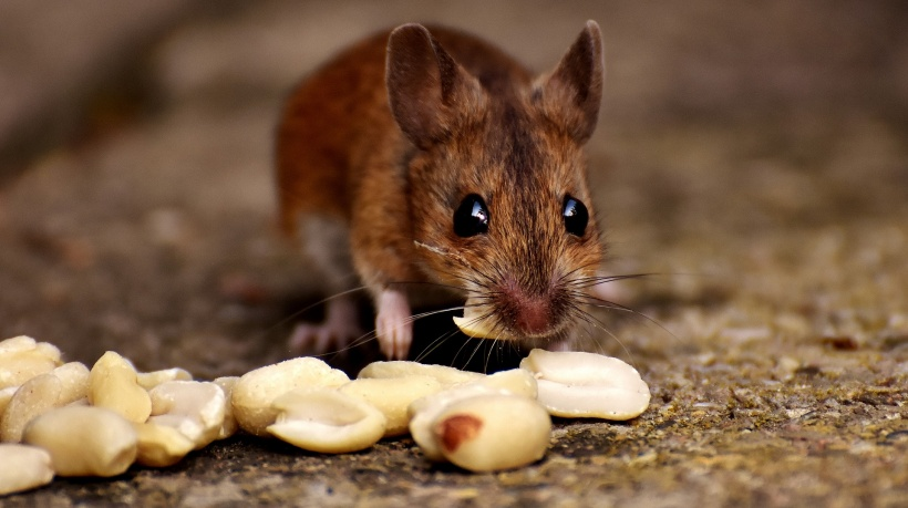 wood mouse eating peanuts