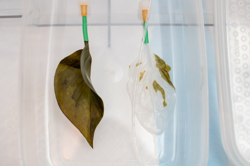 A regular spinach leaf (left) and one that is being decellularized. In the lab,...