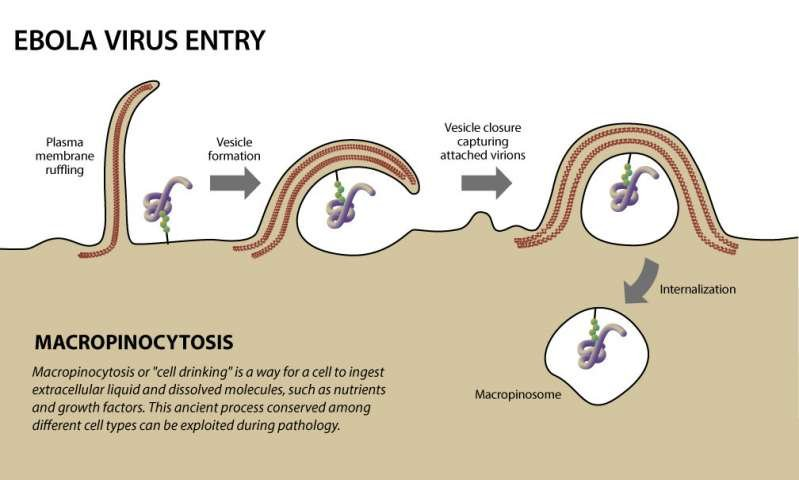 Illustration of Ebola virus entry.