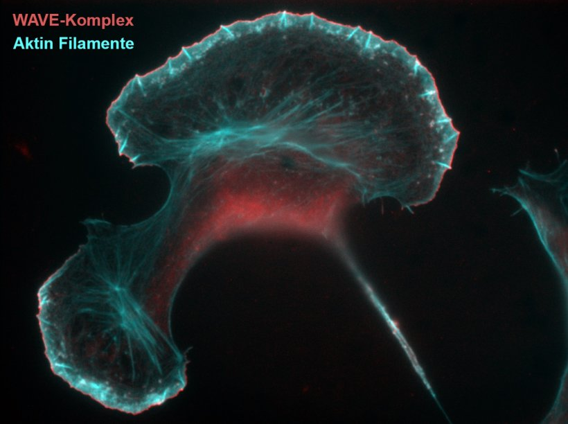 The WAVE-Komplex /red) regulates the formation of catin filaments (cyan blue)...