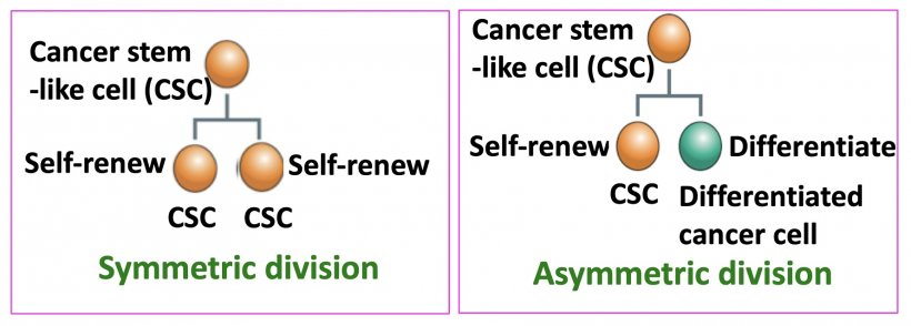 Figure 1: Cancer stem-like cells (CSCs) undergo two types of cell division....