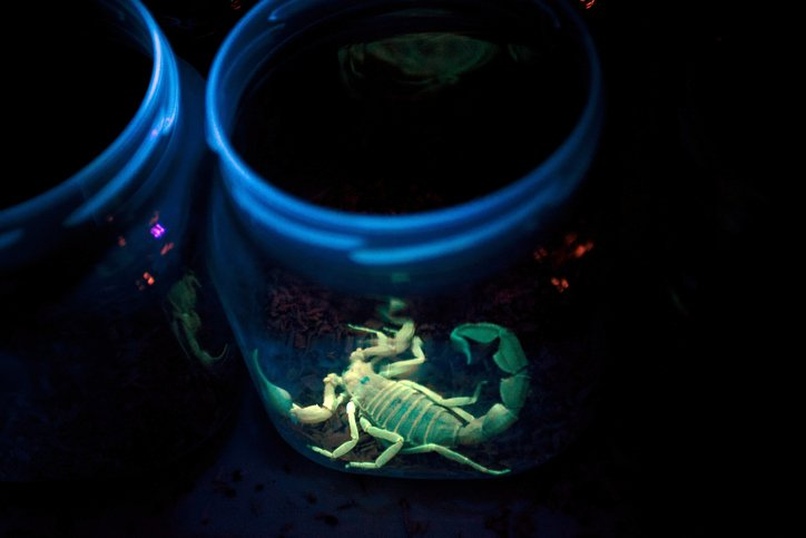 A Deathstalker scorpion sits in a jar illuminated by ultraviolet light in a...