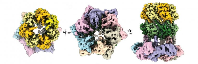 Three cryo-electron microscopic views of the protein complex ClpX-ClpP