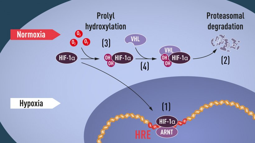 Figure 1. When oxygen levels are low (hypoxia), HIF-1α is protected from...