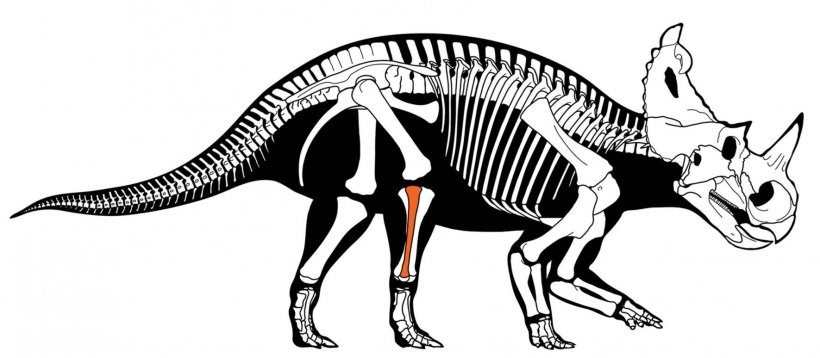 Centrosaurus skeleton with fibula highlighted in red