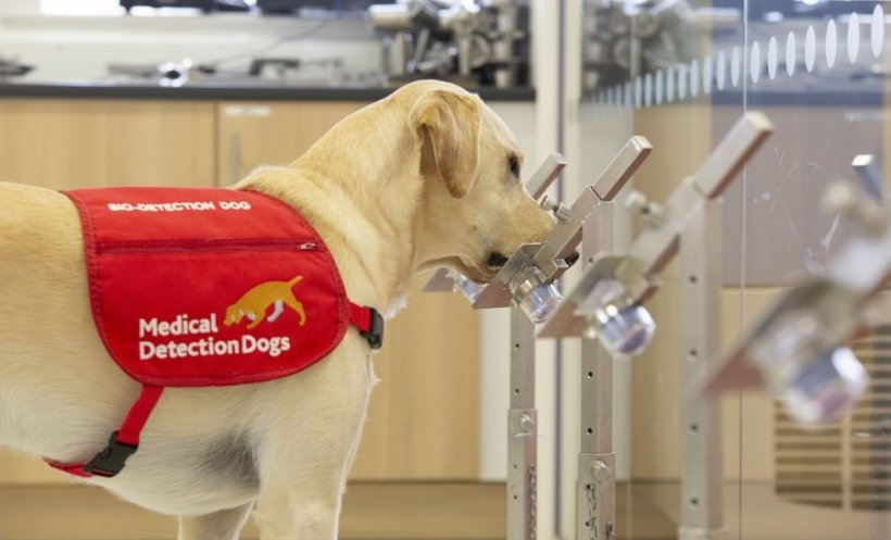 Medical detection dog Storm sniffing at samples in the training room