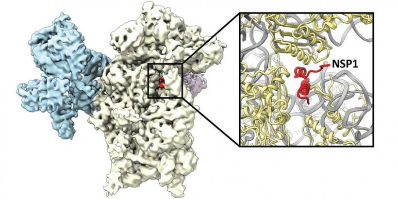 The virus protein NSP1 (red) binds to the ribosome (white and blue) and thus...