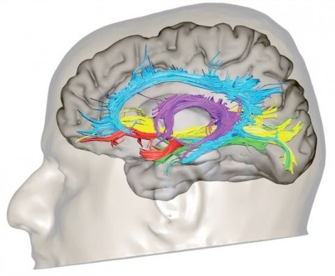 3d illustration of limbic tracts in the human brain