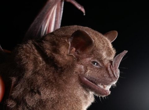 artibeus fruit bat