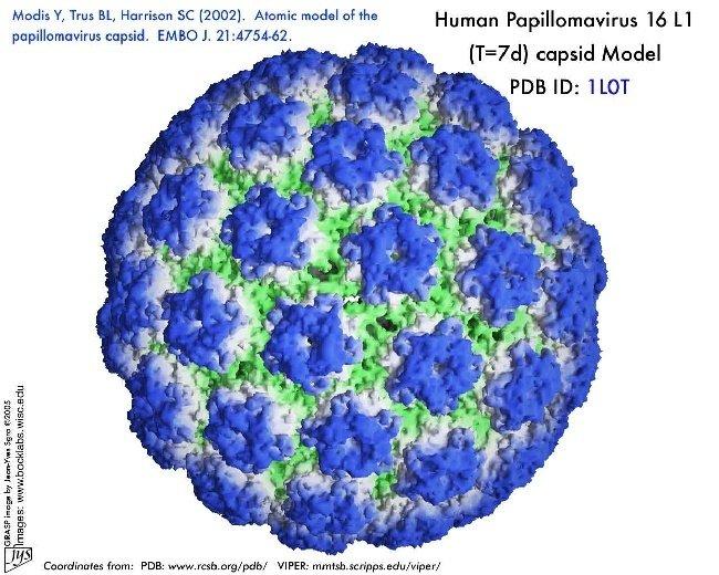 papiloma virusi 16)