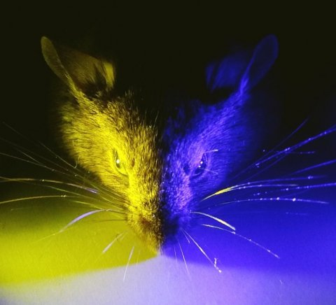 mouse head with yellow and blue lighting