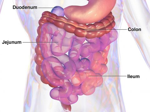 3d illustration of human gastrointestinal tract