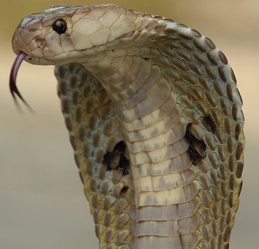 indian cobra naja naja