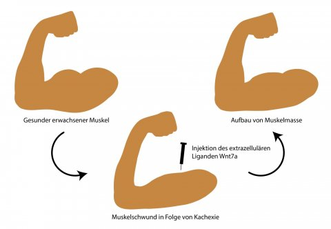 illustration of 3 flexing forearms