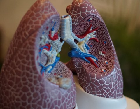 anatomical model of human lungs