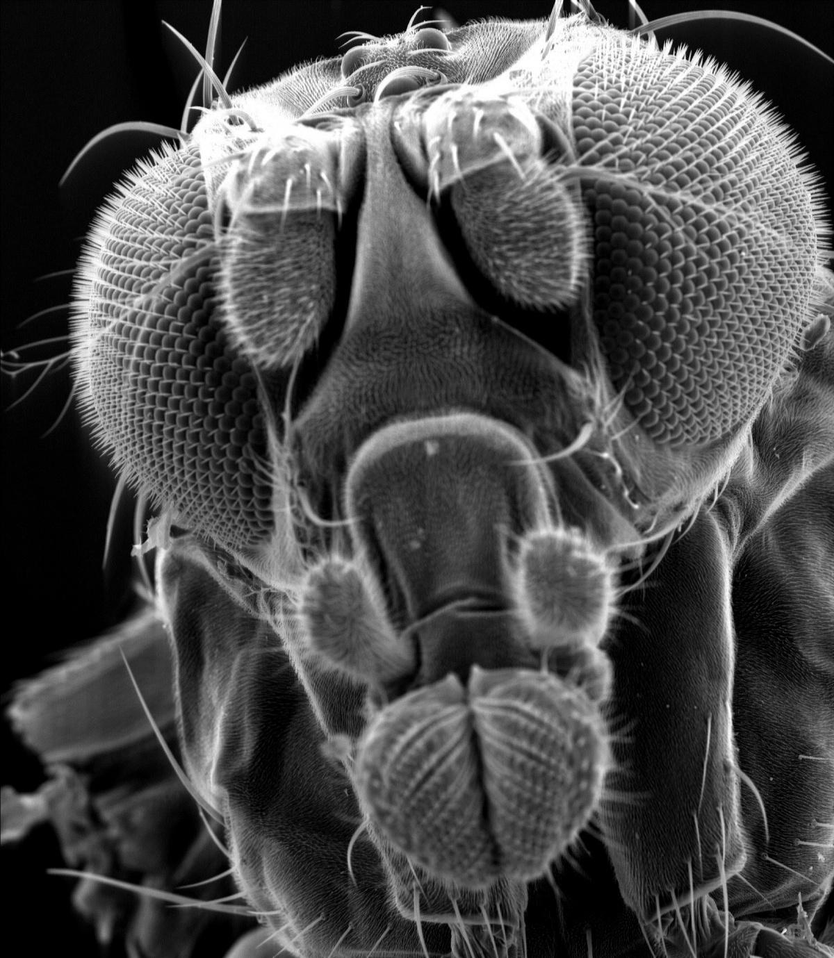 Fruchtfliegen zeigen wie nervenzellen reize wahrnehmen for Fruchtfliegen in erde