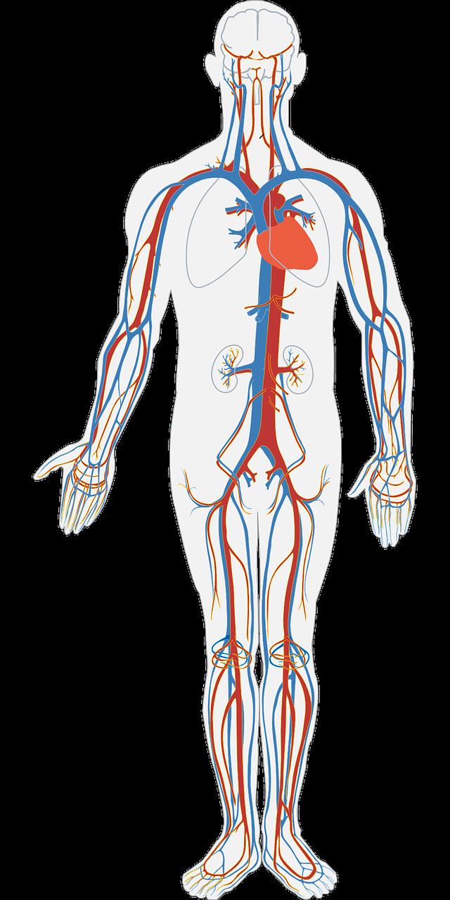 Neue Einblicke in das Wachstum von Blutgefäßen auf healthcare-in ...