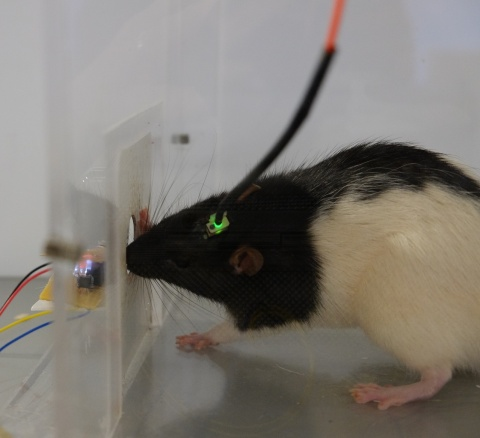 lab rat during an experiment