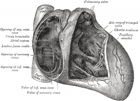 anatomical schematic of human heart with foramen ovale
